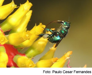 abelha euglossine pcf