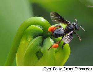 abelha trigona pcf