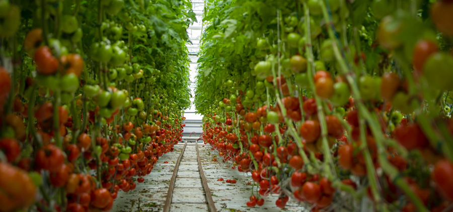 Agricultura orgânica - Lufa Farms - 1