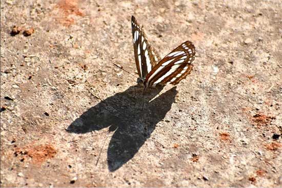 Borboleta Neptis sappho