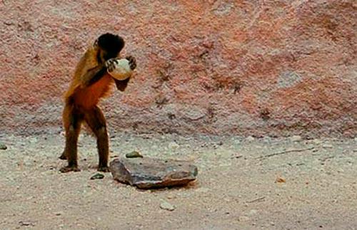 Macaco-prego quebrando castanha